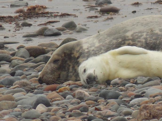 First South Walney seal pup of season spotted on seal cam