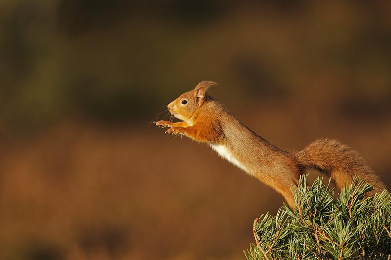 Trees for Life's red squirrel project wins global conservation competition