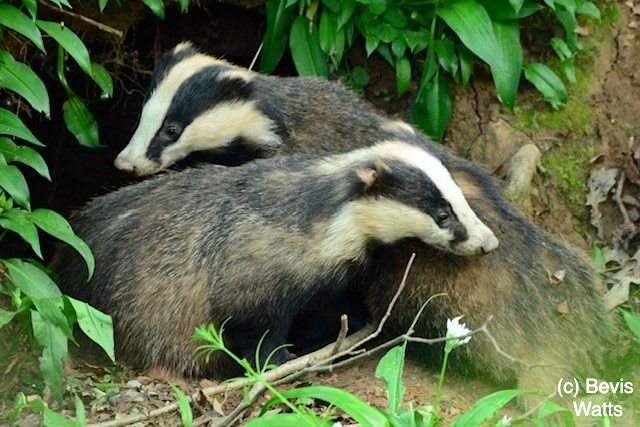Badgers in Avon given a reprieve after Government announce the phasing out of culling
