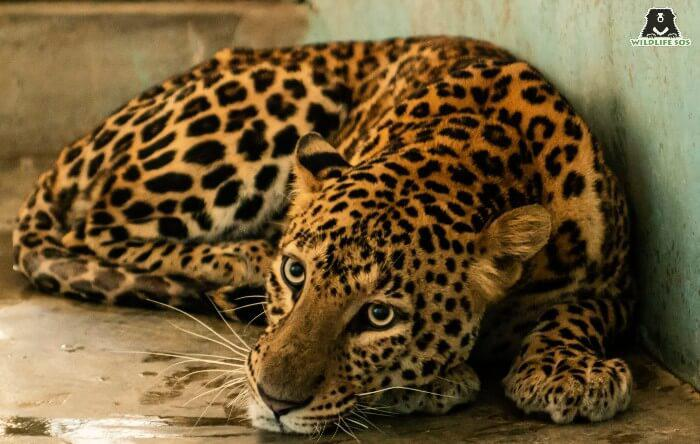 Ailing Adult Leopard Returns To The Wild