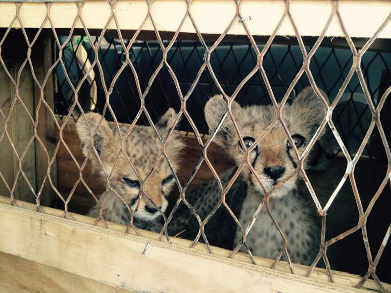 Stop the Illegal Wildlife Trade: The battle to rescue cheetahs from the deadly pet trade in the Horn of Africa