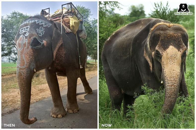 Karma - a begging elephant who had only known neglect and apathy until her recent rescue by our team.